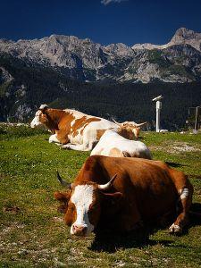 Happy_cows_(9454873062)
