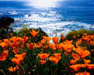 California-Poppy-State-Flower-