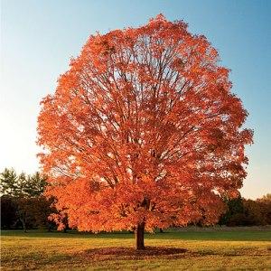 sugar-maple-fall-color-x