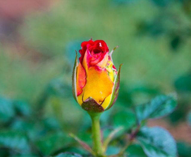 ROSES FLOWERS SPRING 2015 014