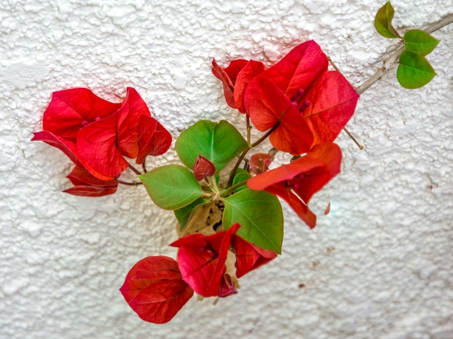 ROSES FLOWERS SPRING 2015 036