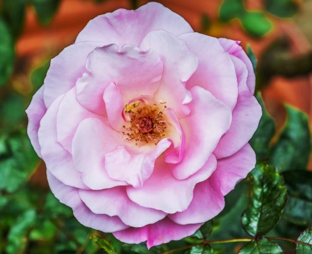 ROSES FLOWERS SPRING 2015 047 ETERNITY SOFT 51%