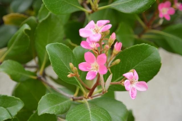 ROSES FLOWERS SPRING 2015 031