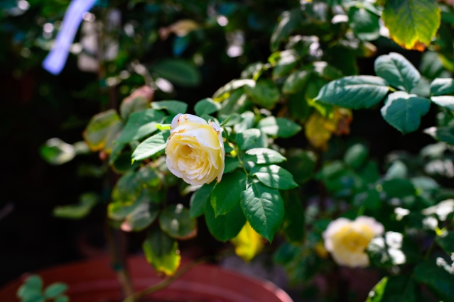 back garden roses-015 small