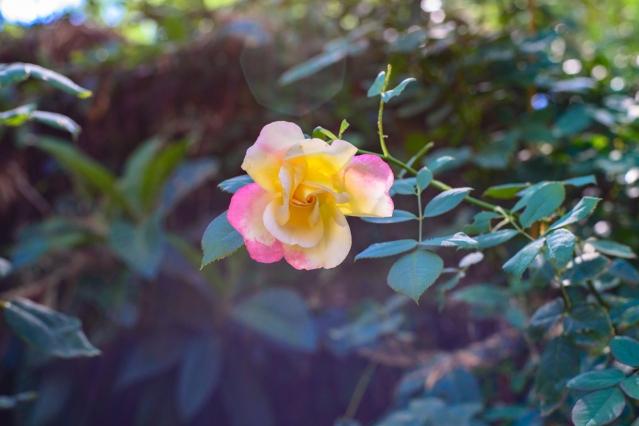 back garden roses-016 small