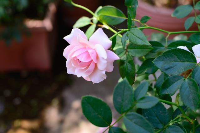 back garden roses-019 small