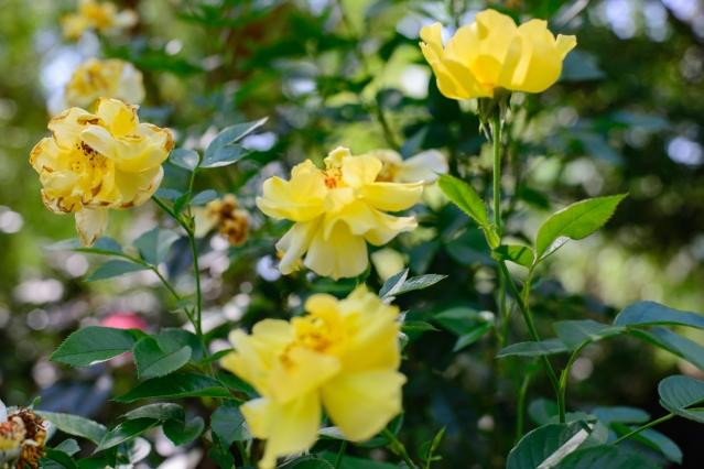 back garden roses-021 small